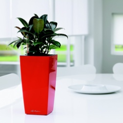 office-plants-rent-london-ficus