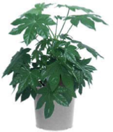 office plants fatsia japonica
