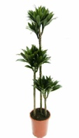 office-plants-dracaena-compacta