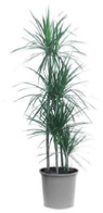 dracaena marginata office plant