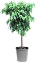 Ficus-Benjamina-office-plants
