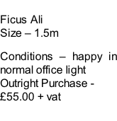 Ficus Ali Size – 1.5m  Conditions – happy in normal office light  Outright Purchase - £55.00 + vat
