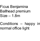 Ficus Benjamina Ballhead premium Size – 1.8m  Conditions – happy in normal office light