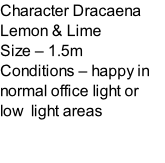 Character Dracaena Lemon & Lime  Size – 1.5m  Conditions – happy in normal office light or low  light areas
