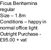 Ficus Benhamina regular Size – 1.8m  Conditions – happy in normal office light  Outright Purchase - £95.00 + vat