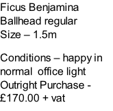 Ficus Benjamina Ballhead regular Size – 1.5m  Conditions – happy in normal  office light  Outright Purchase - £170.00 + vat